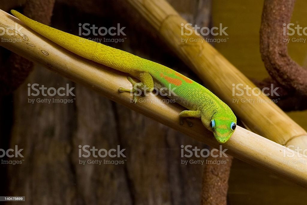 Phelsuma laticauda, Gold Dust Day Gecko stock photo