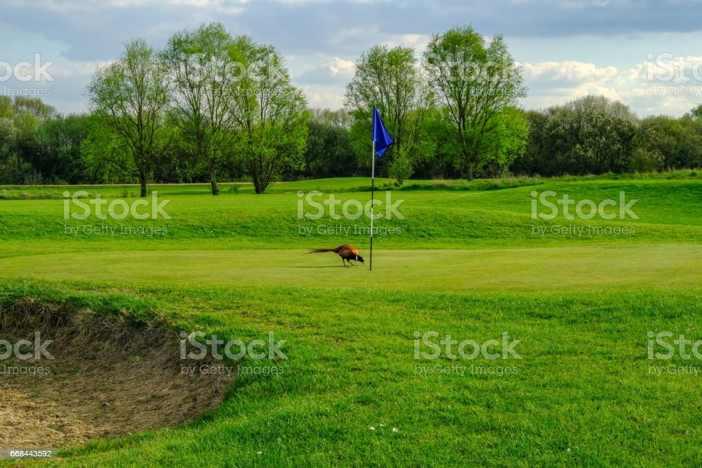 Phesant bird on the golf course stock photo