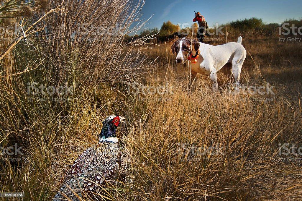 Phesant hunting dog on point royalty-free stock photo