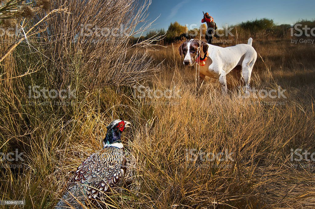 Phesant hunting dog on point stock photo