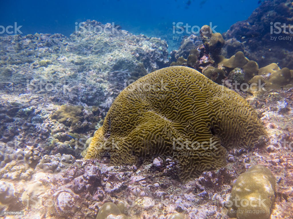 Phi Phi Coral Bleaching (Mussidae labyrinthine) Global Warming stock photo