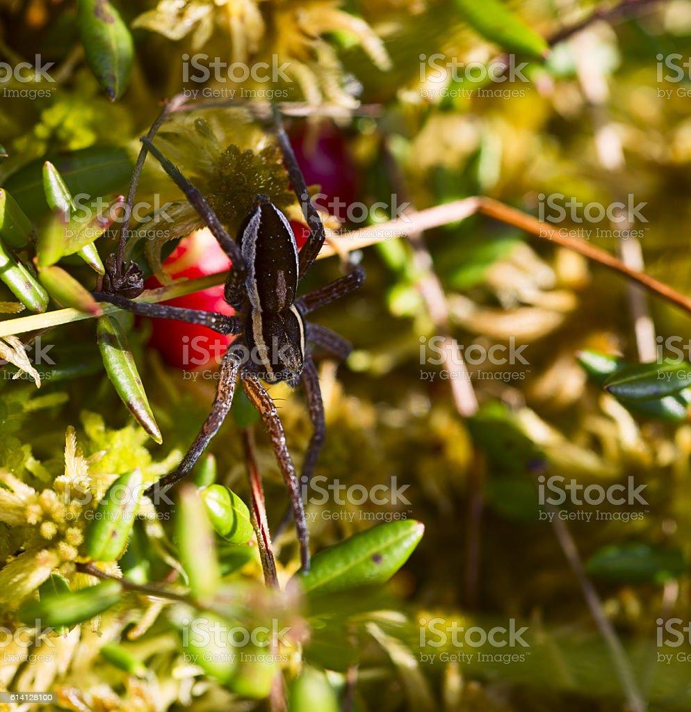 Phiddipus regius jumping spider with parasite stock photo