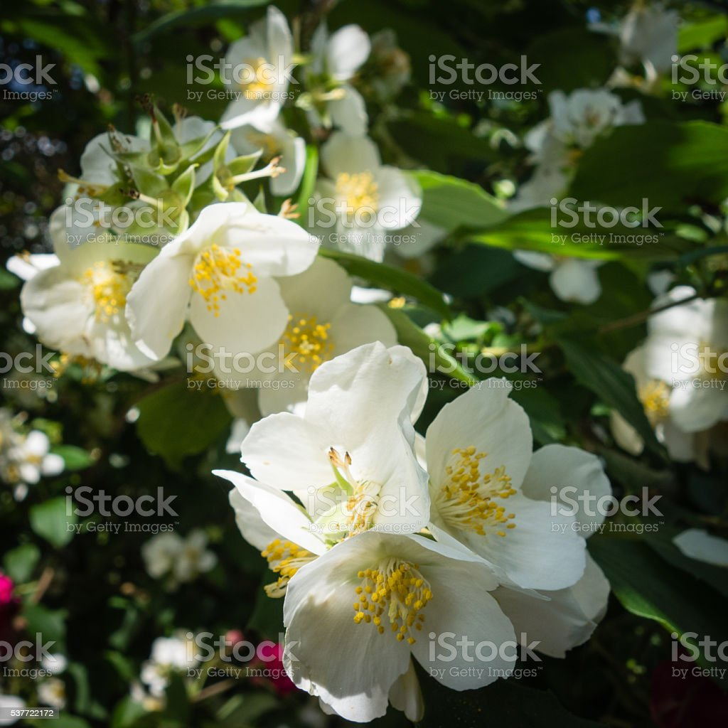 Philadelphus coronarius flowers stock photo