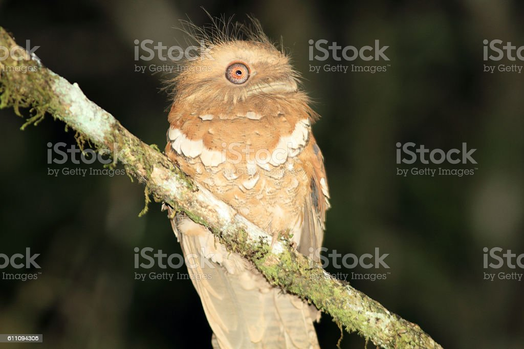 Philippine frogmouth stock photo