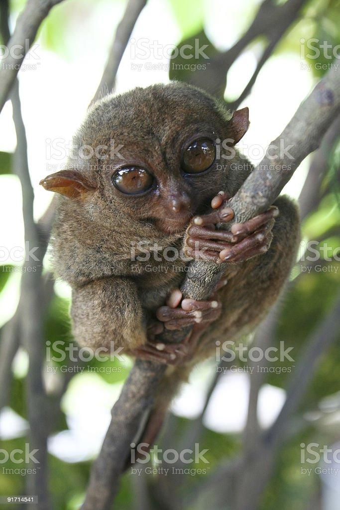 Philippine tarsier bohol island royalty-free stock photo