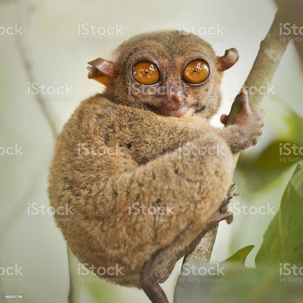 Philippine tarsier royalty-free stock photo