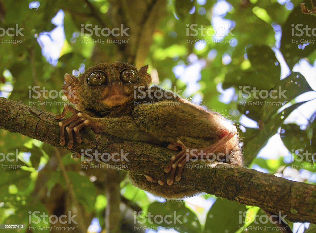 phillipine tarsier in tropical forest stock photo
