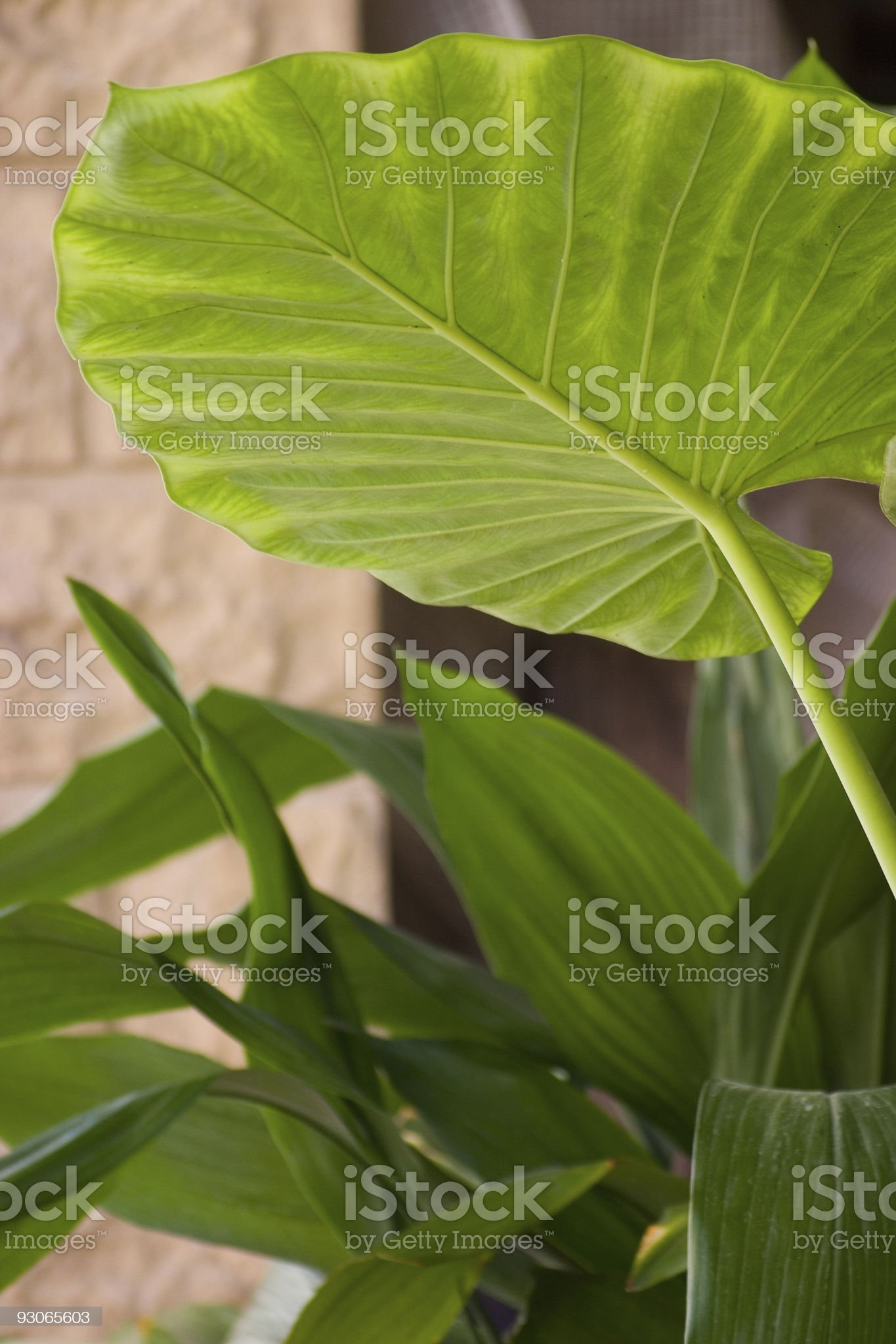 Philodendron leaf royalty-free stock photo