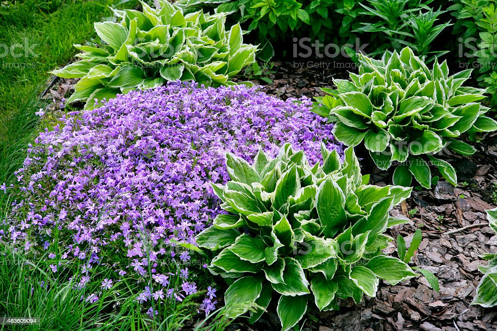 Phlox and Hostas flowers in the garden stock photo
