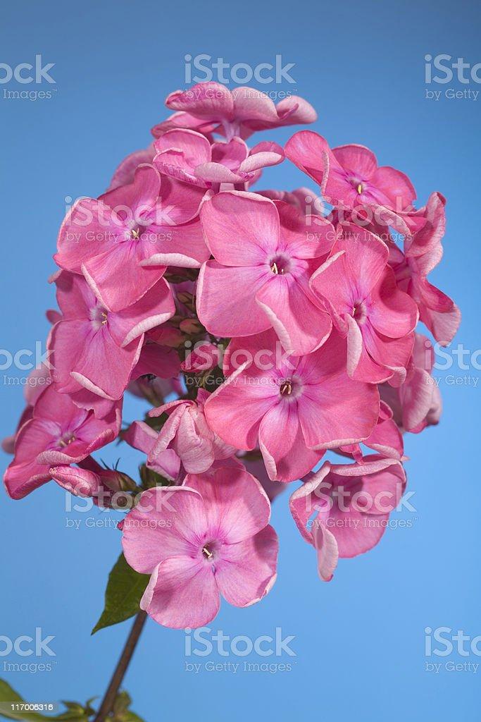 phlox flowers royalty-free stock photo
