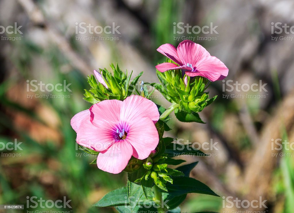 phlox flowers waking up early in the morning stock photo