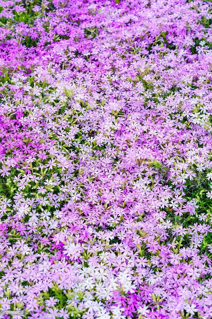 Phlox galore in springtime stock photo