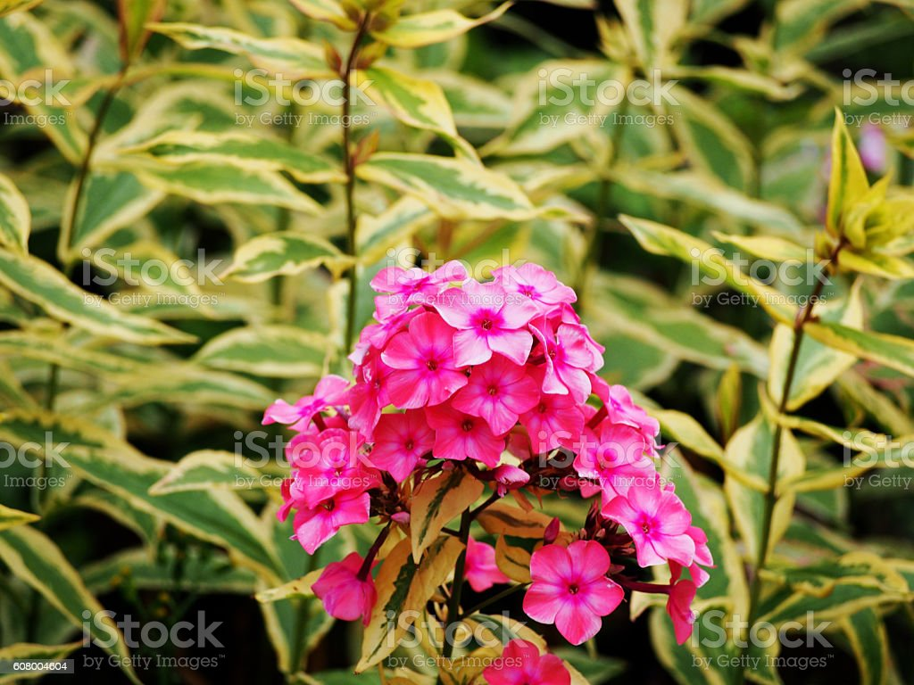 Phlox paniculata 'Becky Towe' stock photo