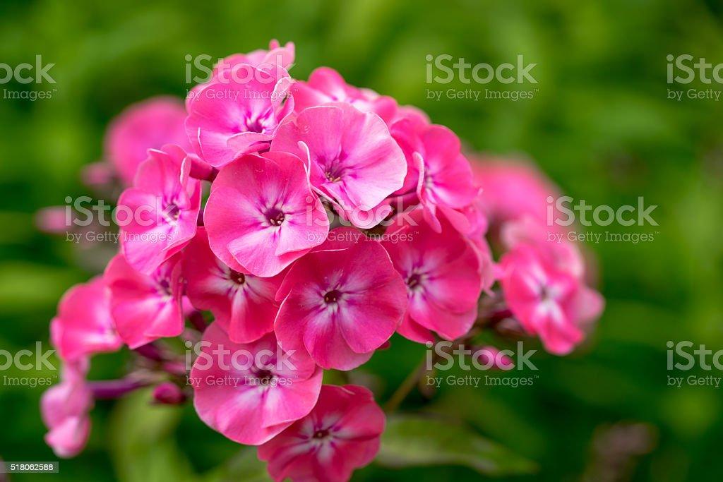 Phlox paniculata (Garden phlox) in bloom stock photo
