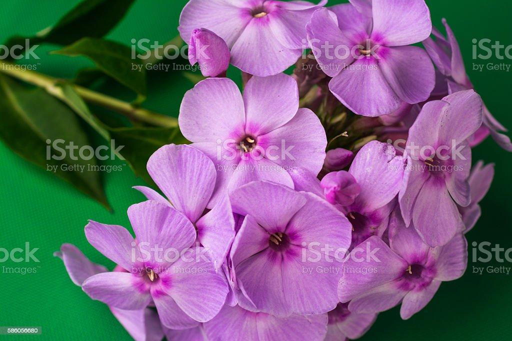 Phlox paniculata L. stock photo