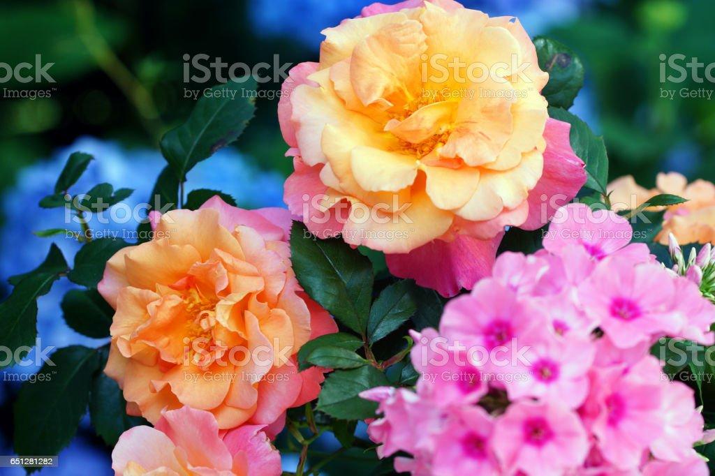 Phlox, rose 'Freisinger Morgenröte' and hydrangea stock photo