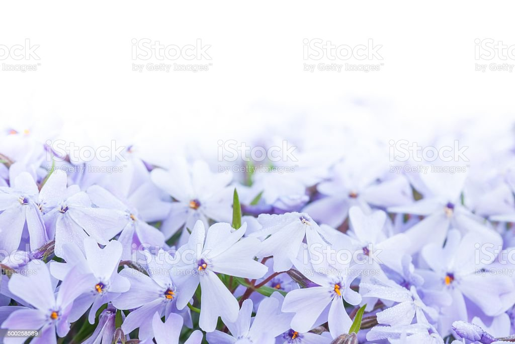 phlox subulata stock photo
