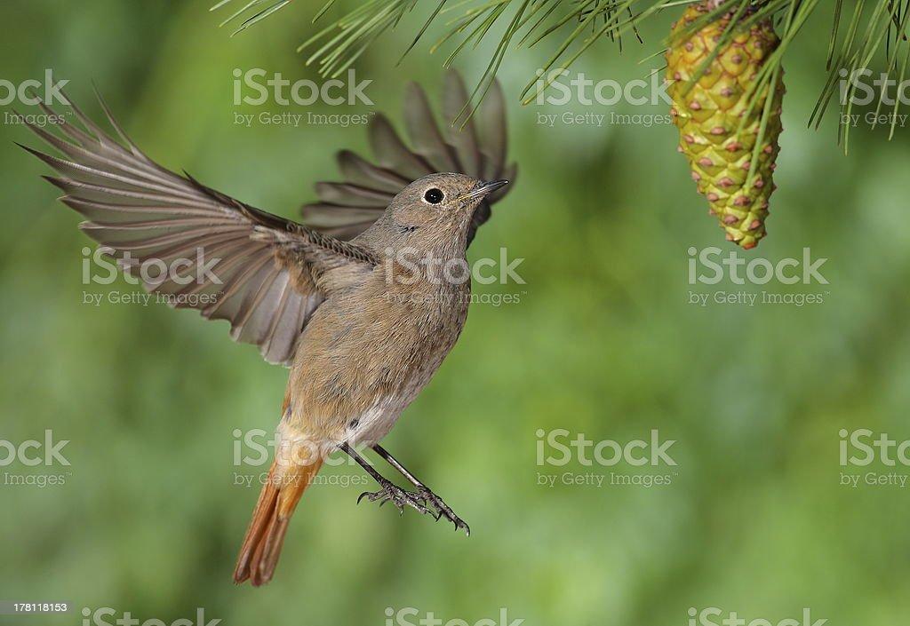 Phoenicurus ochruros redstart female flying stock photo