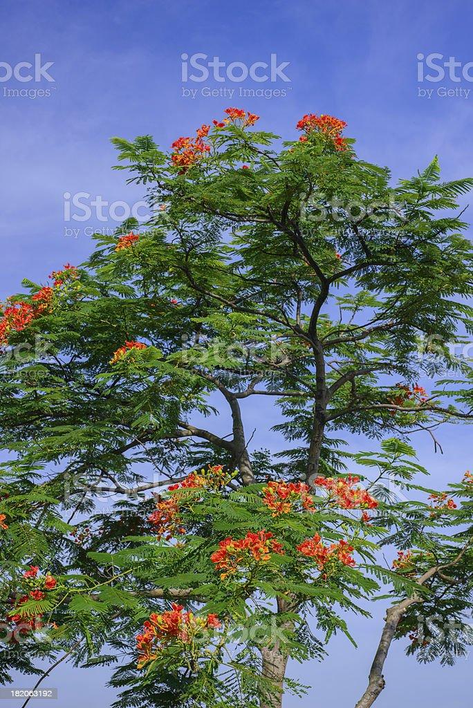 phoenix flower. royalty-free stock photo