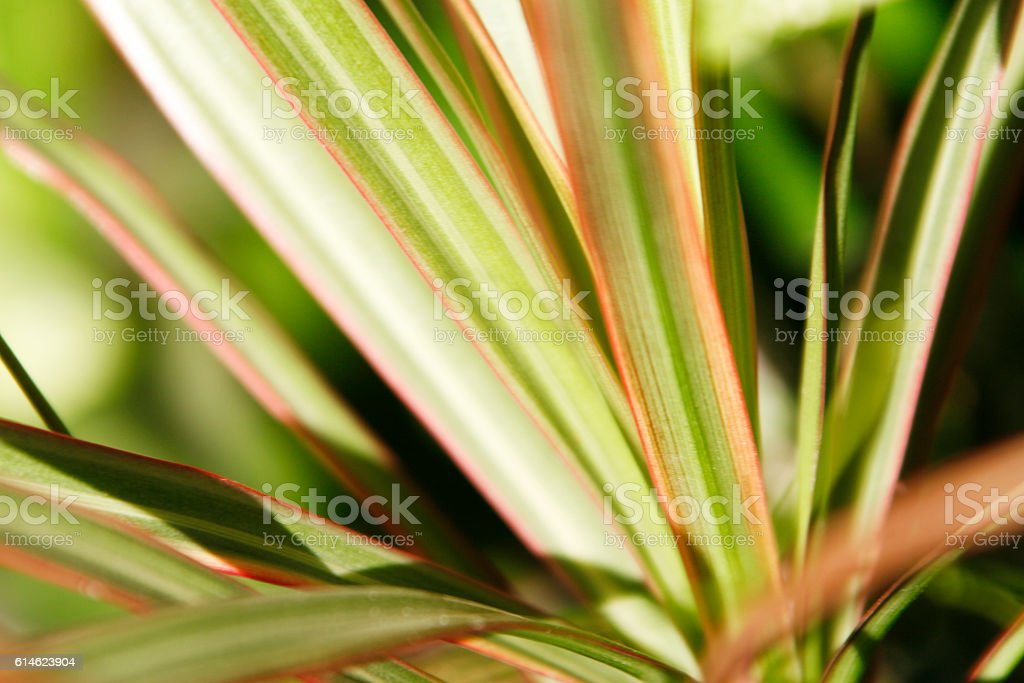 Phormium stock photo