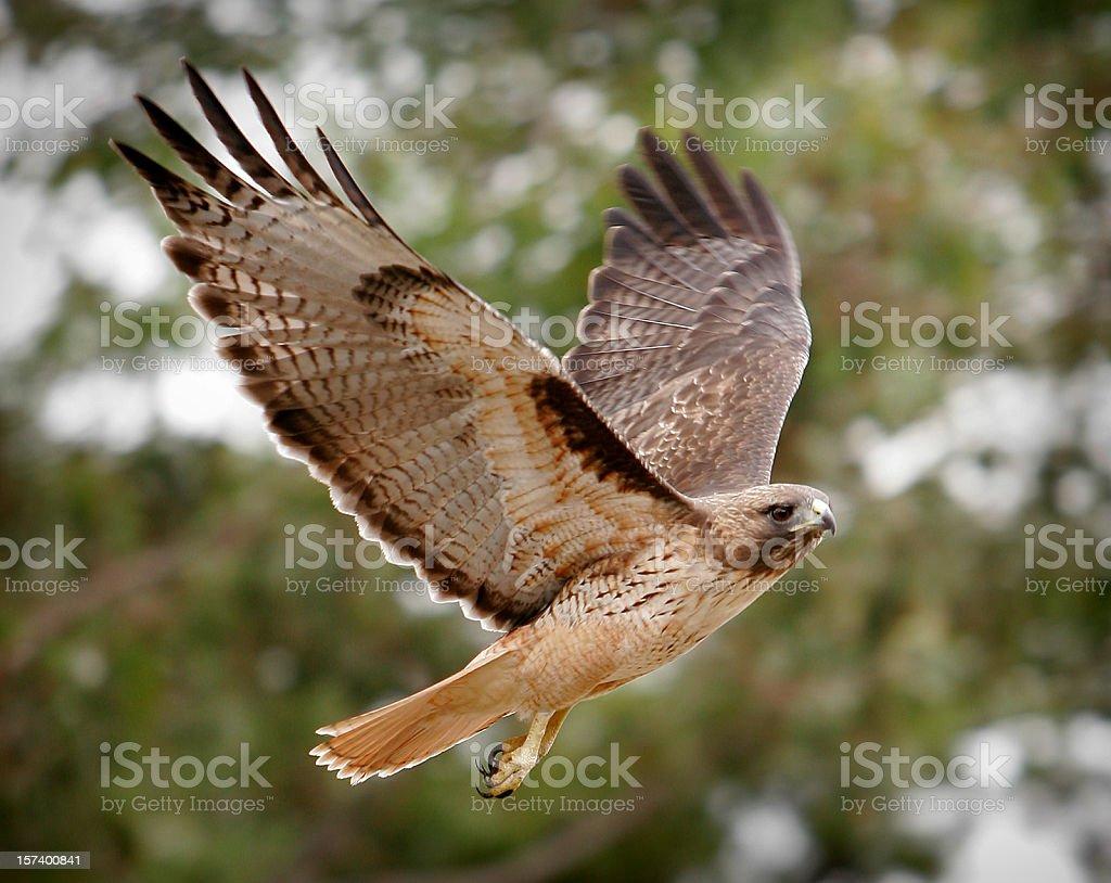 Phot of majestic hawk in flight stock photo