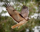 Phot of majestic hawk in flight