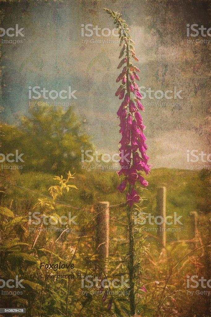 Photo art, Plant, Foxglove, Digitalis purpurea stock photo