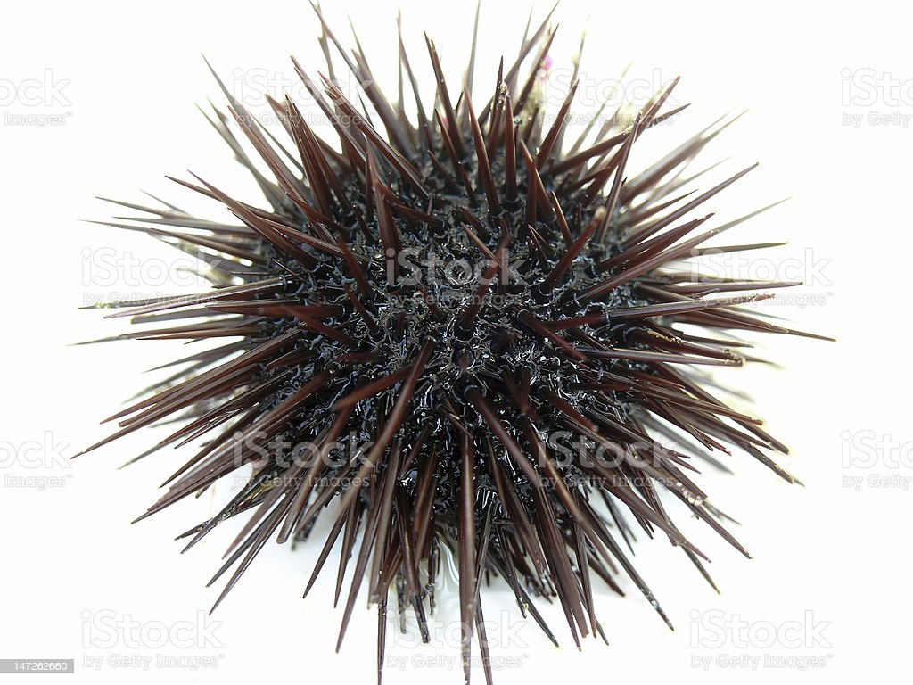 A photo of a black, spikey sea urchin on a white background royalty-free stock photo