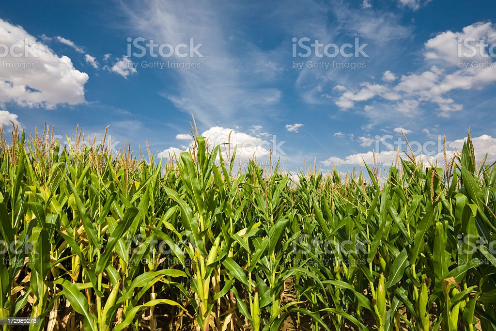 Photo of a dense cornfield before a blue and cloudy sky royalty-free stock photo