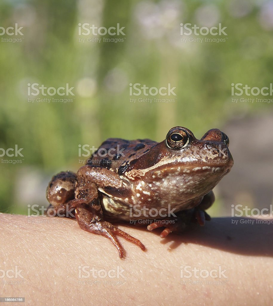 Photo of a frog sitting royalty-free stock photo