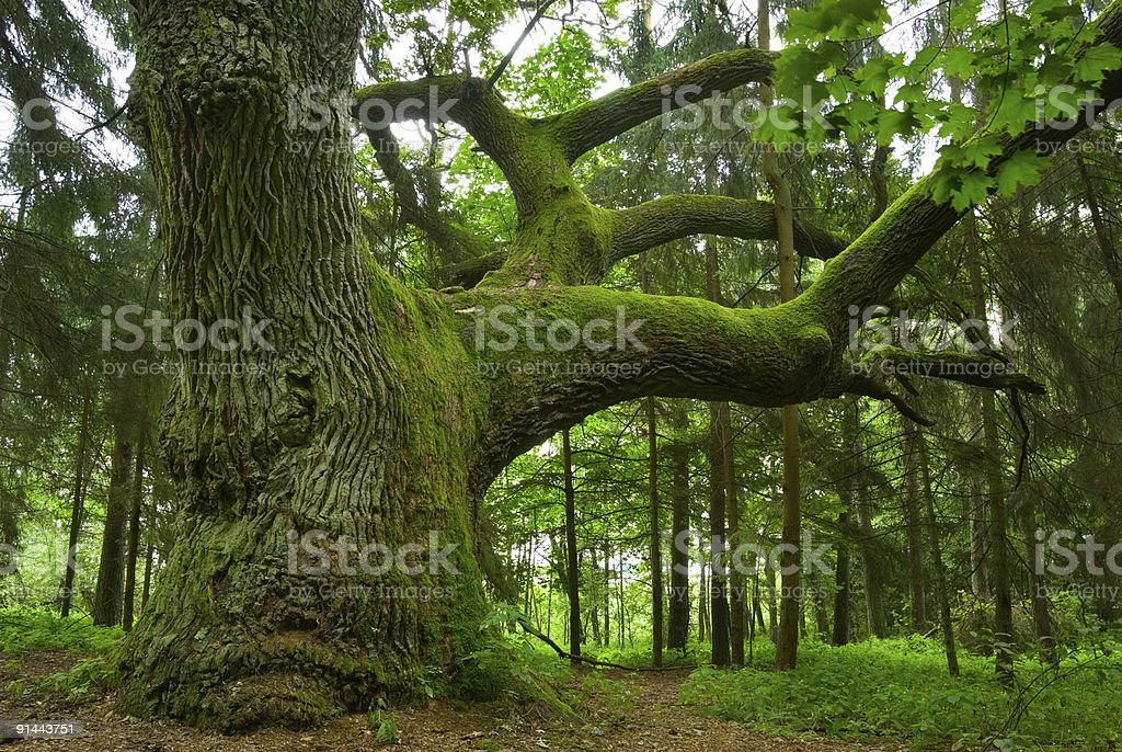 Photo of a large oak tree's moss covered trunk royalty-free stock photo