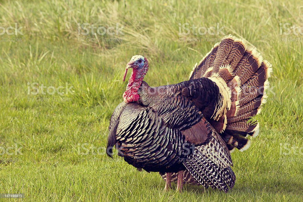 Photo of a male turkey or tom in grassy field stock photo