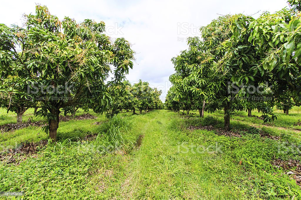 A photo of a mango orchard with rows of leafy trees stock photo