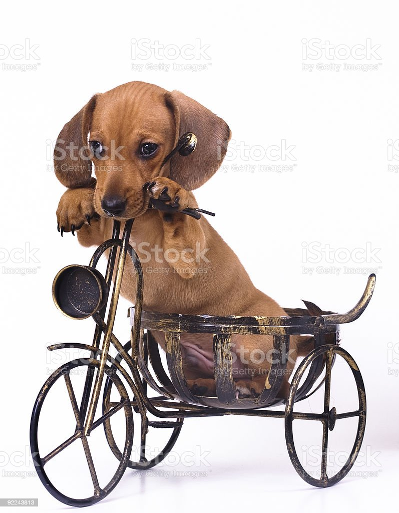 Photo of a puppy posing on a tricycle model royalty-free stock photo
