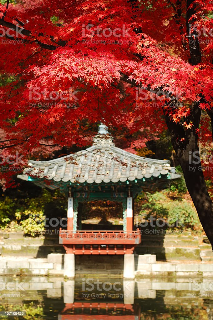 A photo of a red Japanese maple tree stock photo