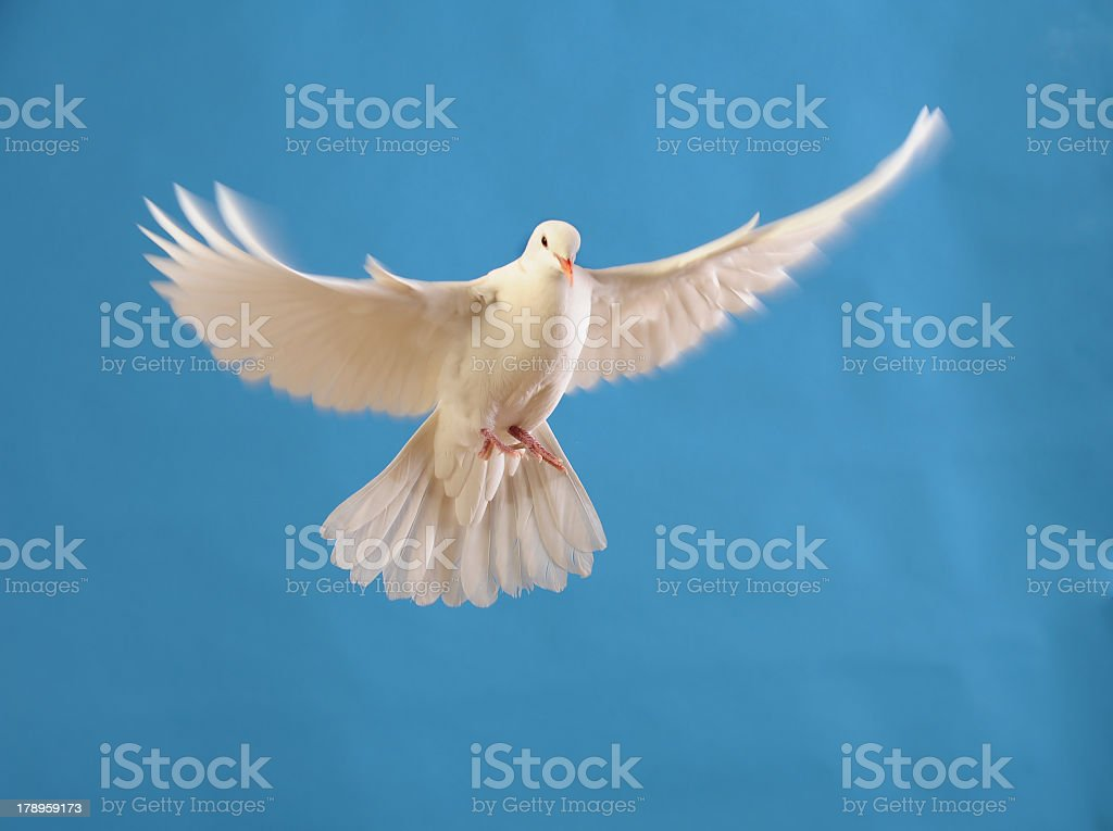 Photo of a white dove soaring in the sky royalty-free stock photo