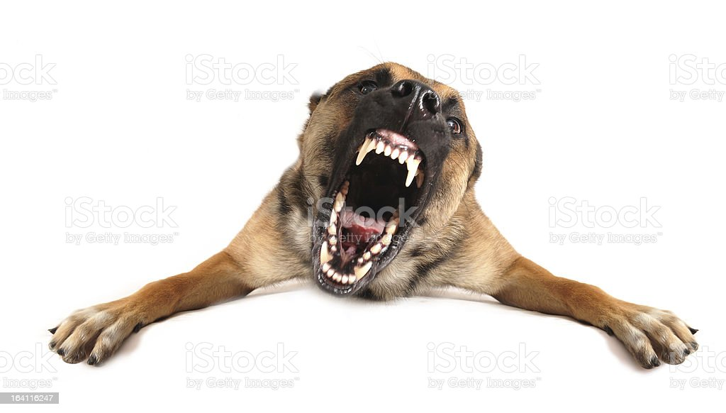 A photo of an angry dog barking  stock photo
