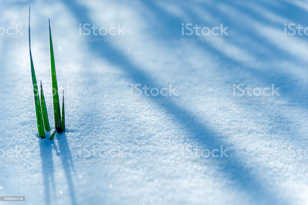 Photo of Early Spring, Frozen grass close up stock photo