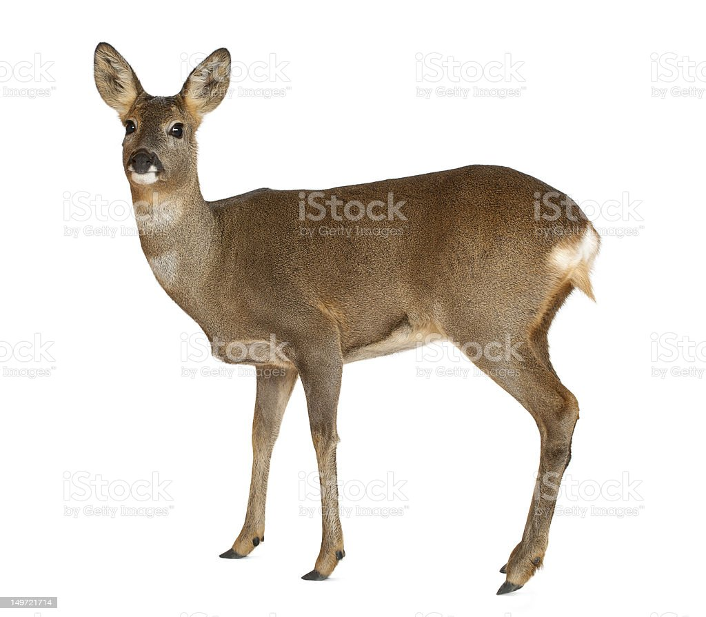 Photo of European Roe Deer standing against white background stock photo