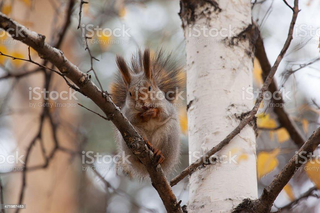 photo of gray squirrel stock photo