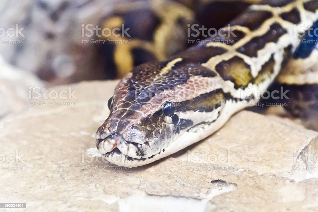 Photo of python head close up stock photo