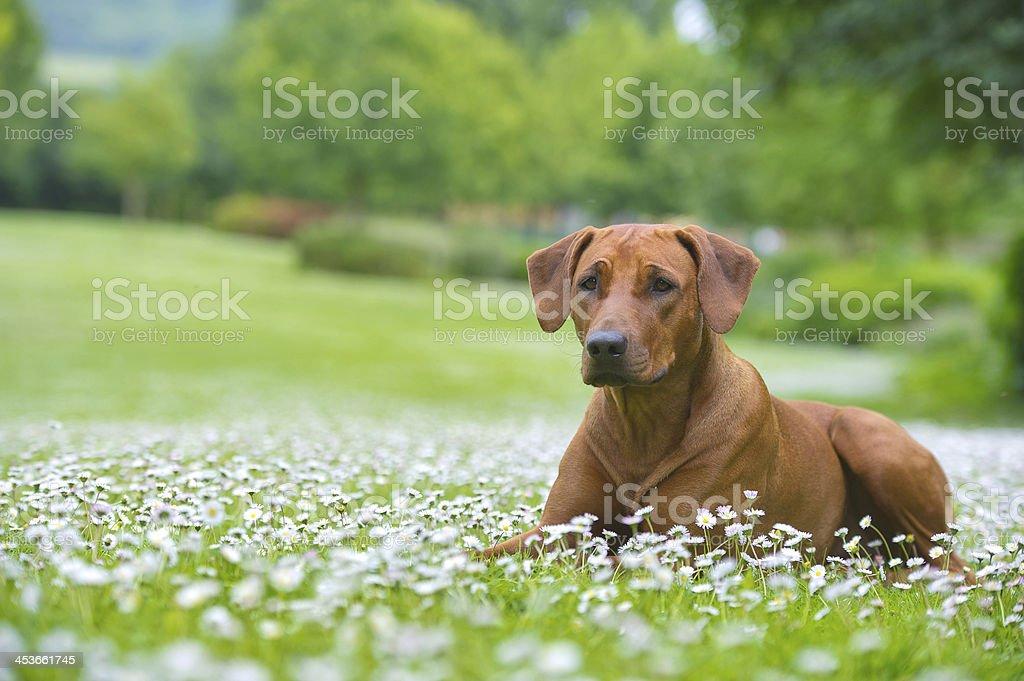 Photo of Rhodesian Ridgeback dog lying in a field of flowers stock photo