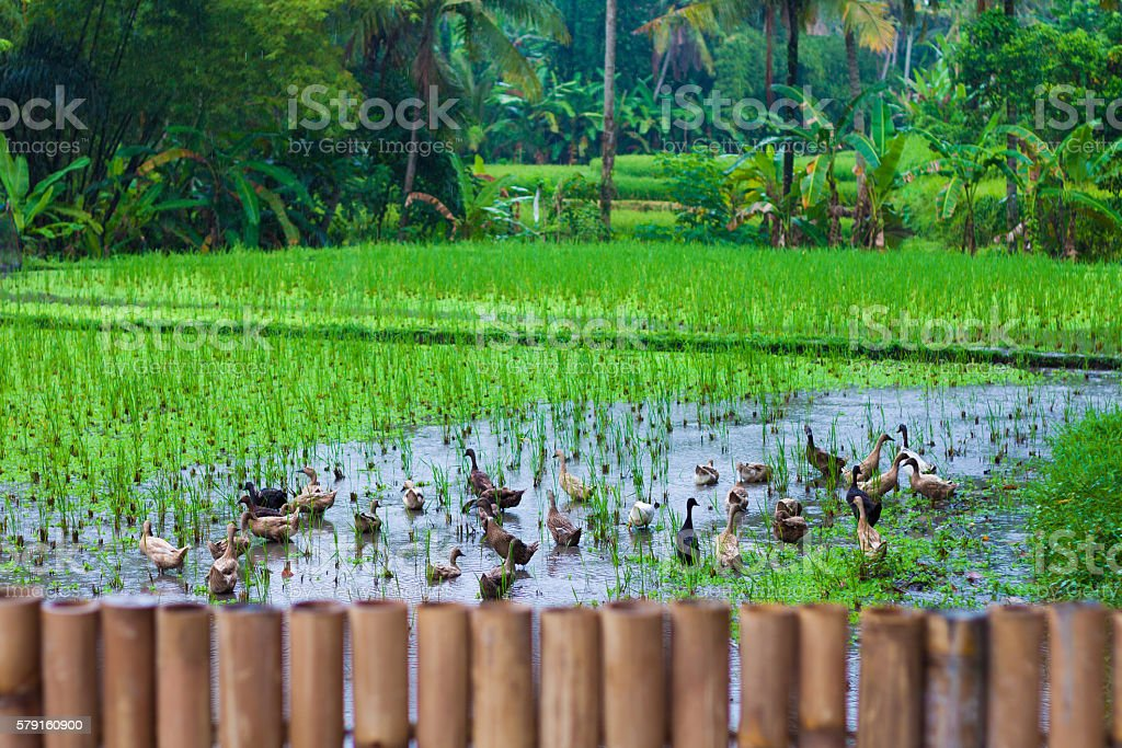Photo of rice terrace, Bali, Indonesia. horizontal. stock photo