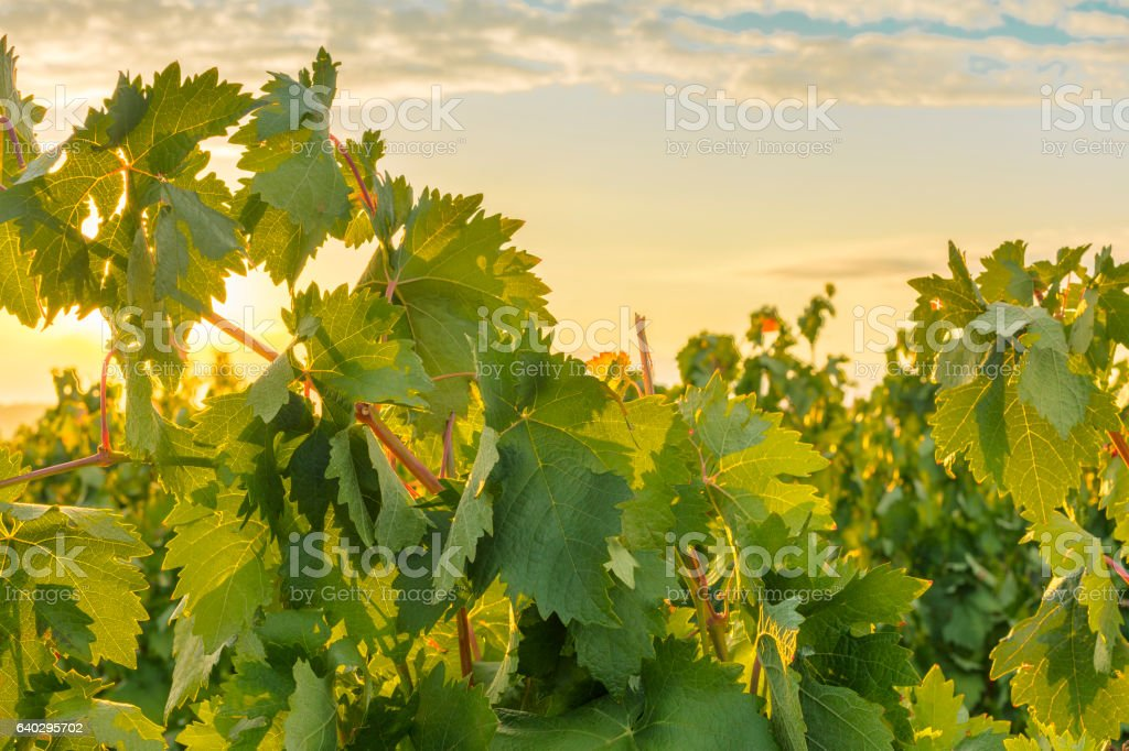 Photo of sun rising above vineyard stock photo