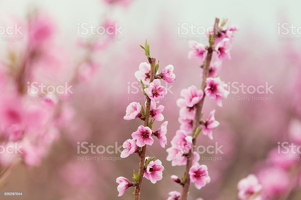 photo of the cherry branches stock photo