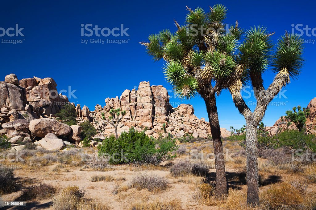 A photo of the desert during the day, including Joshua Trees stock photo