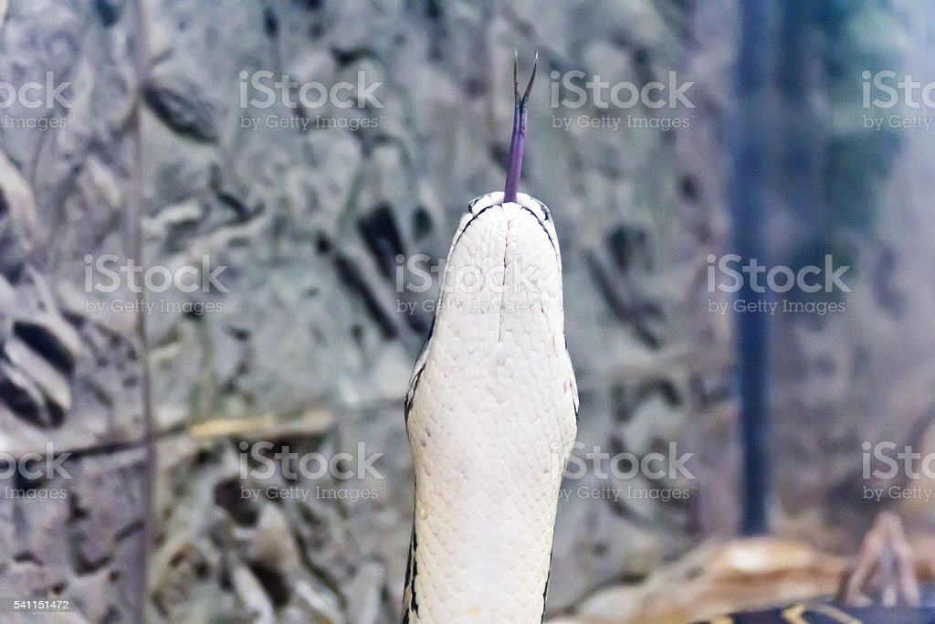 Photo of vertical snake head with put out tongue stock photo
