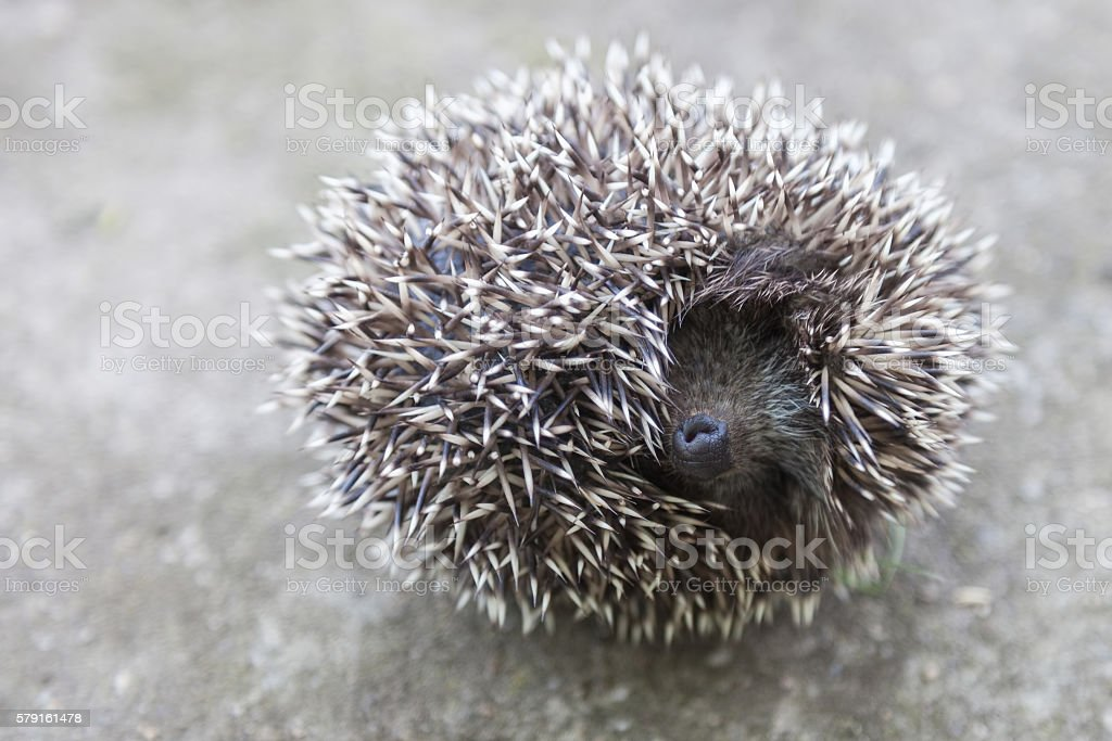 Photo of young hedgehog closeup stock photo