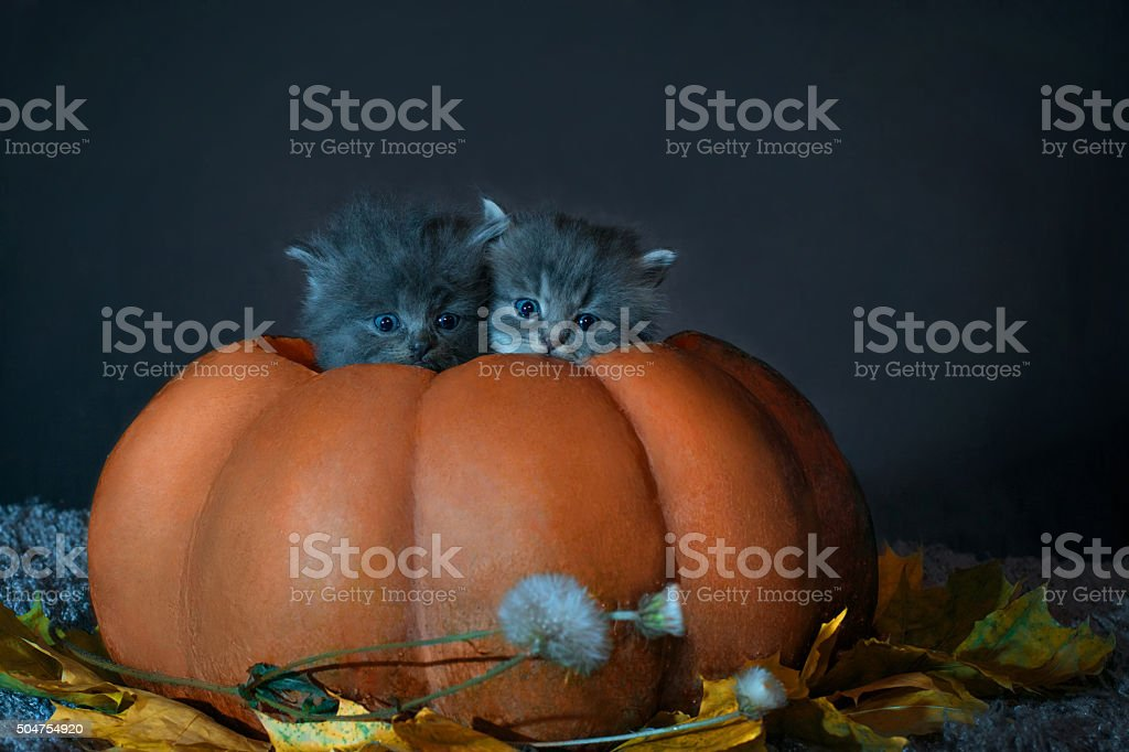 Photo on Halloween. Two gray kittens sit in pumpkin stock photo