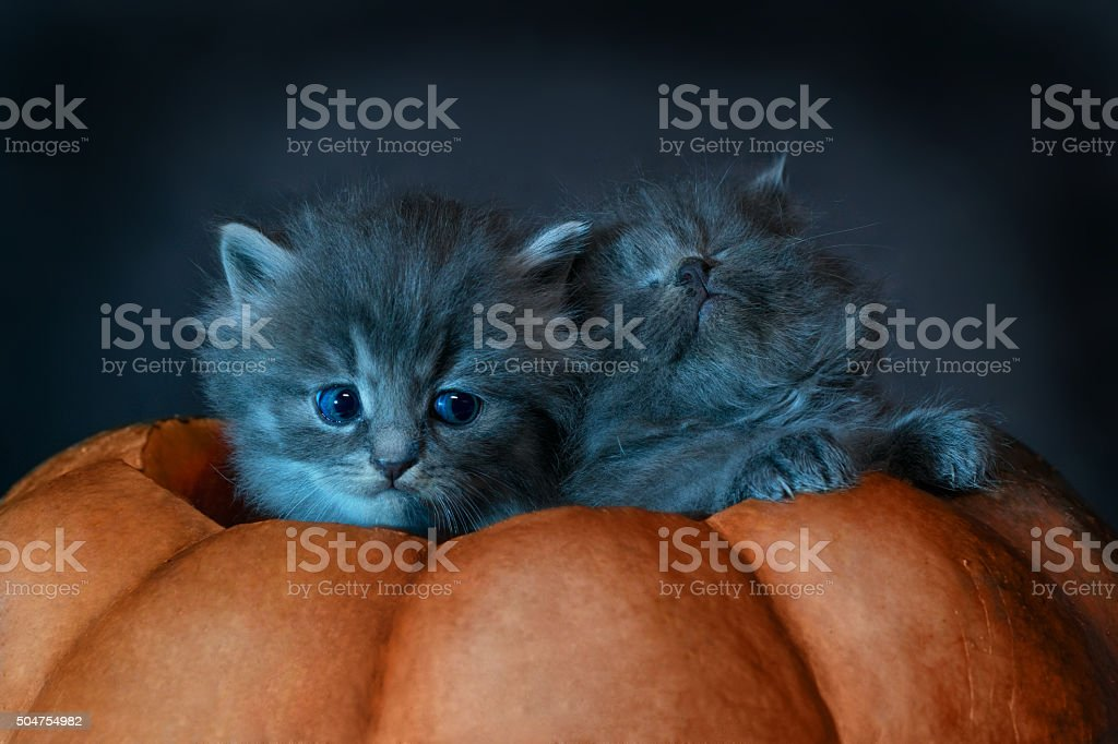 Photo on Halloween. Two gray kittens sit in pumpkin stock photo